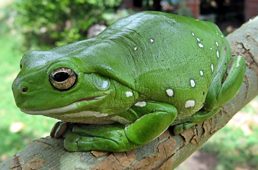 finger-coral-tree-frog-62889_1280